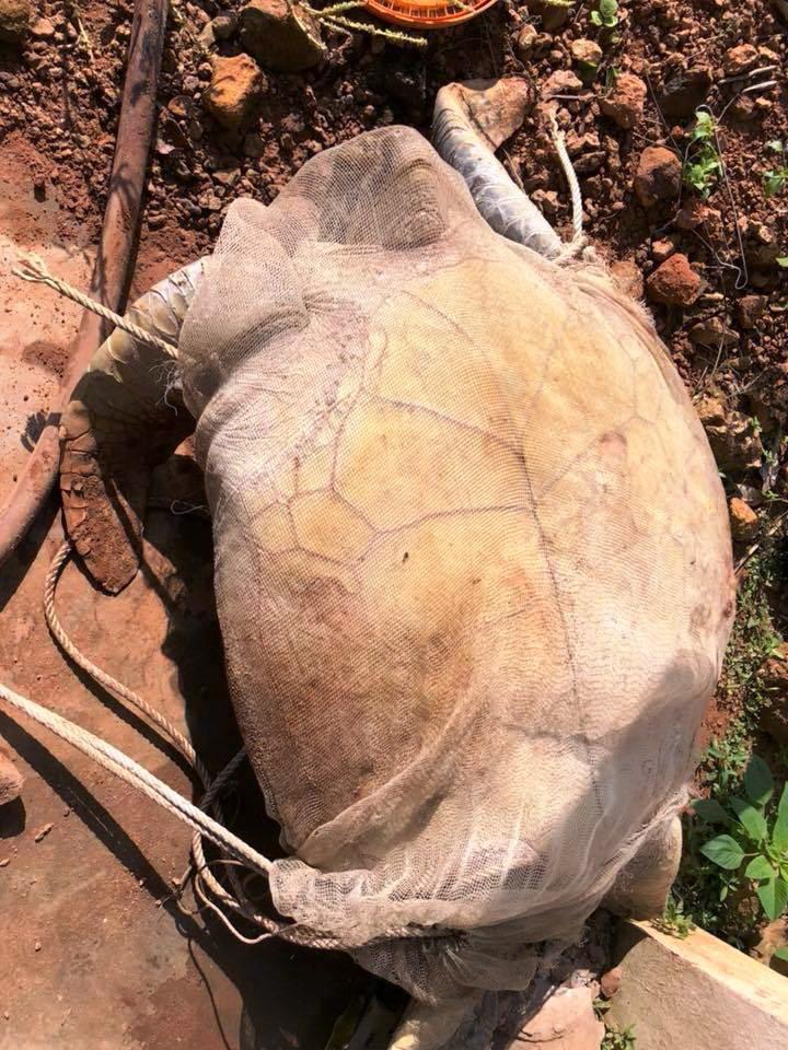 Rùa 'khủng' 120kg suýt bị dội nước sôi làm thịt
