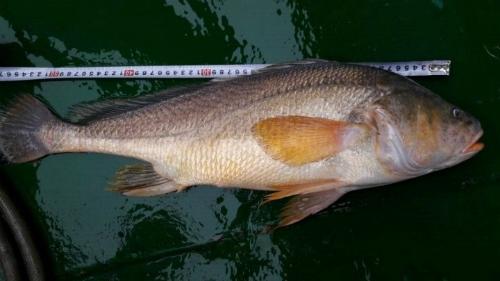 Ba lô tiền 1,5 tỷ đồng mua con cá sủ vàng: Huyền thoại lộc trời