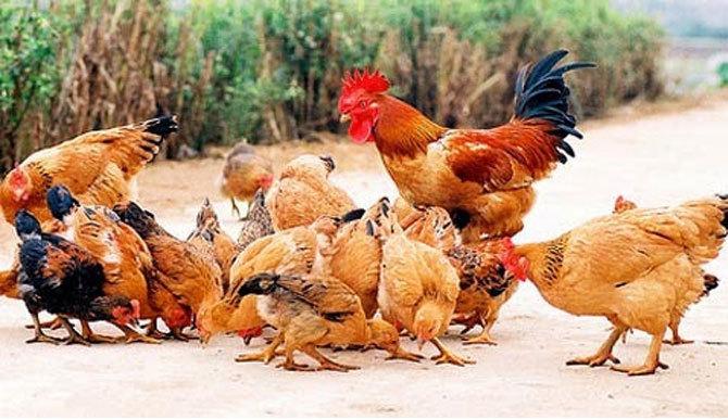 Còi lên là hàng trăm con gà bay sà về ổ