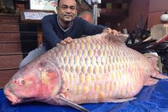 Đại gia 'săn' cá hô từ Campuchia, Lào, Thái... làm tiệc đón Tết