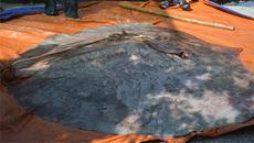 Bắt được quái ngư đáng sợ: Nặng 220 kg, 100 năm mới thấy 1 lần