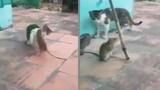 Một con chuột chấp cả hai con mèo