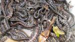 1.200 con rắn