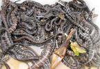1.200 con rắn 'ngậm thuốc bổ' lúc nhúc dưới đáy ao