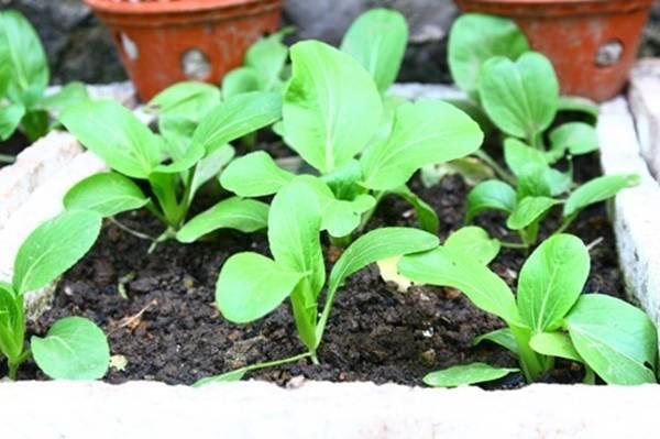 trồng rau,rau vụ đông,mùa đông trồng cây gì