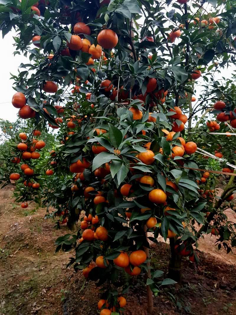 nông dân làm giàu,nông dân tỷ phú,trồng cam,trồng cam canh,khởi nghiệp nông nghiệp