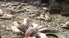 Chập điện thiêu rụi trang trại cùng 1.200 con lợn