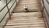 Bật cười pha qua cầu vất vả của chú chó chân ngắn
