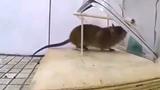 Những cách bẫy chuột đơn giản nhưng hiệu quả bất ngờ