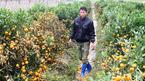 Công an điều tra vụ bức tử 400 cây quất cận Tết