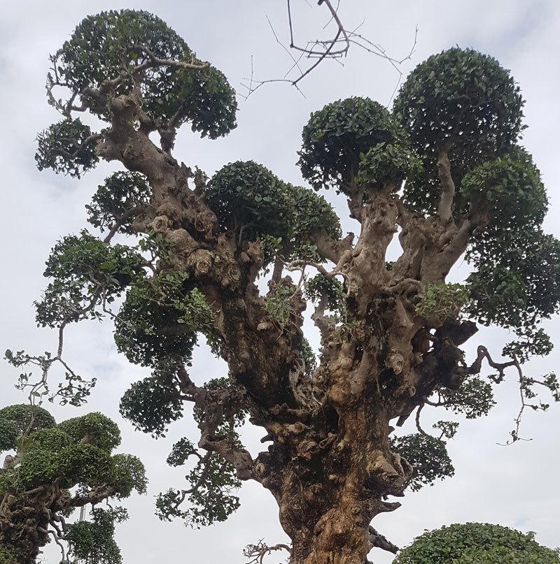 Siêu cây duối cổ tiền tỷ ngạo nghễ trong chậu lô cốt