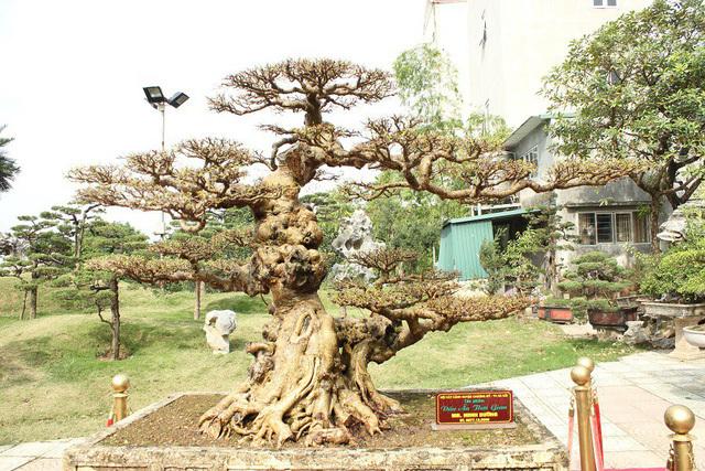 cây sanh,cây cổ thụ,cây cảnh tiền tỷ,cây cảnh,chơi cây,siêu cây