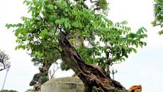 Gốc sưa bonsai cao 1 mét giá 1,4 tỷ đồng gây xôn xao
