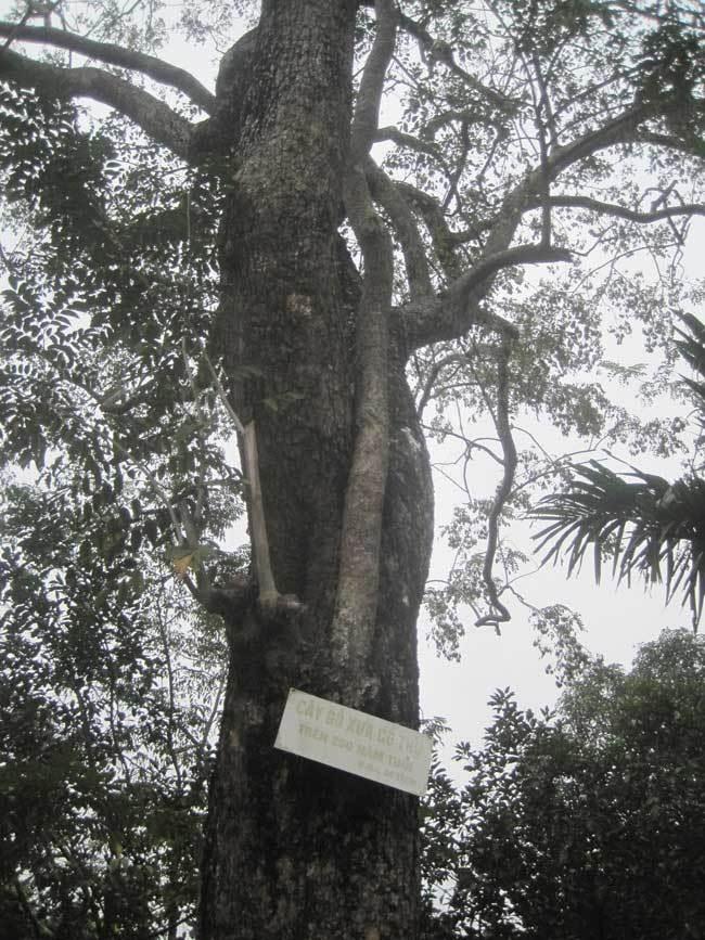 cây sưa,gỗ sưa,gỗ quý,siêu cây