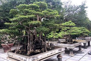 Cây cảnh trăm tỷ hiếm có trong vườn đại gia Hà thành
