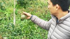 'Giải cứu' cây chanh leo tại Quế Phong, Nghệ An