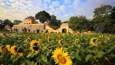 Mê mẩn sắc hoa hướng dương giữa Hoàng thành Thăng Long