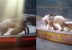 Hổ cắn xé ngựa bạch ngay trên sàn diễn xiếc thú gây sốc