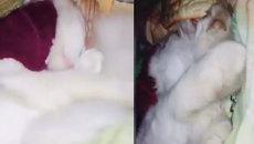 Chú mèo dành cả tuổi thanh xuân để... ngủ