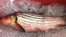 Nồi cá kho 12 triệu đồng: Đặc sản chài sóc ăn Tết đỡ ngán