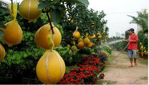 Đã mắt với bưởi diễn 30 triệu/cây bán dịp tết ở Sài Gòn