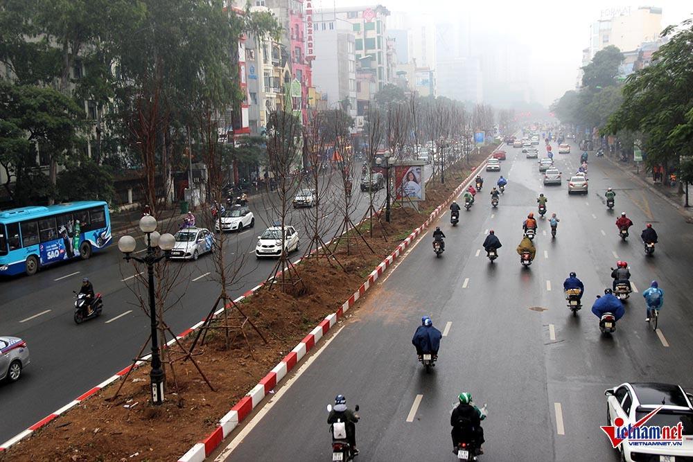 Cây phong lá đỏ,Cây xanh Hà Nội,Chủ tịch Nguyễn Đức Chung,Đường Nguyễn Chí Thanh,Công viên Hà Nội,Vàng Tâm,Cây gỗ mỡ