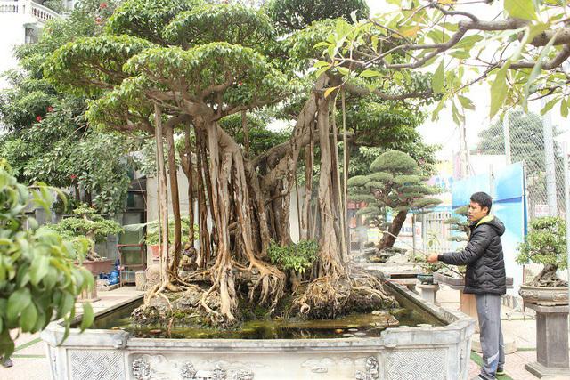 Đại gia Hà Nội chi 5 tỷ 'mua đứt' cây sanh bậc nhất Việt Nam