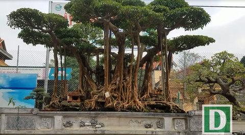 Đại gia Hà Nội chi 5 tỷ 'mua đứt' cây sanh nổi tiếng bậc nhất Việt Nam