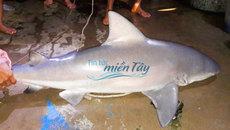 Xôn xao ngư dân An Giang bắt được cá mập 'khủng' rao bán nửa triệu/kg