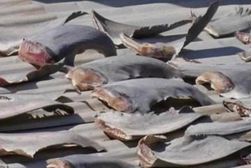Bộ Công Thương xử lý vụ vây cá mập phơi tại trụ sở Thương vụ Chile