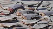 ĐSQ VN tại Chile: Vây cá mập do người nhà cán bộ mua ở chợ