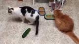 Khi mèo nhìn thấy... dưa chuột