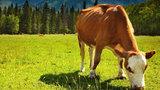 Bài toán mua bò dưới góc nhìn của học sinh chuyên toán