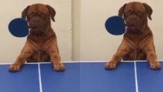 Không nhịn được cười xem chó đánh bóng bàn