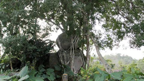 Cây sanh ngan năm tuổi độc nhất vô nhị ở Nghệ An