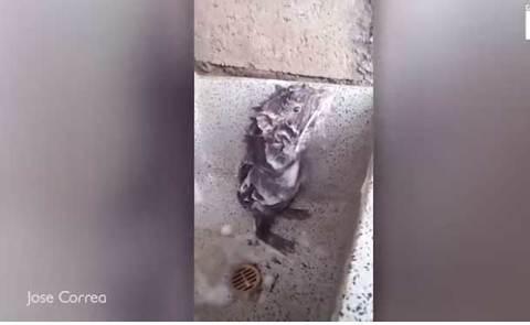 Chuột con tắm như người