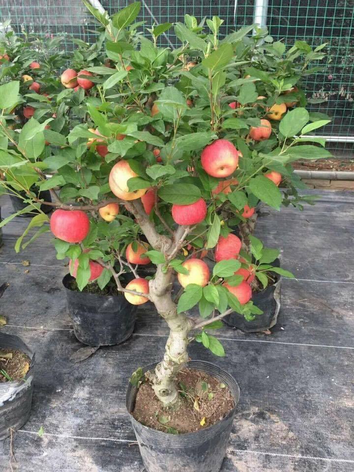 Táo đỏ Trung Quốc nguyên cây trưng Tết: Có độc, cấm ăn