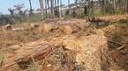 Xin dọn rừng, tiện tay 'xẻ thịt' gần 400 cây thông cổ thụ