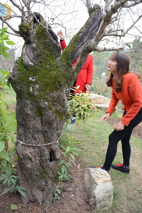 Vườn đào cổ thụ có một không hai: 150 triệu/gốc